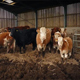 Cows In Cattle Shed - VideoHive Item for Sale
