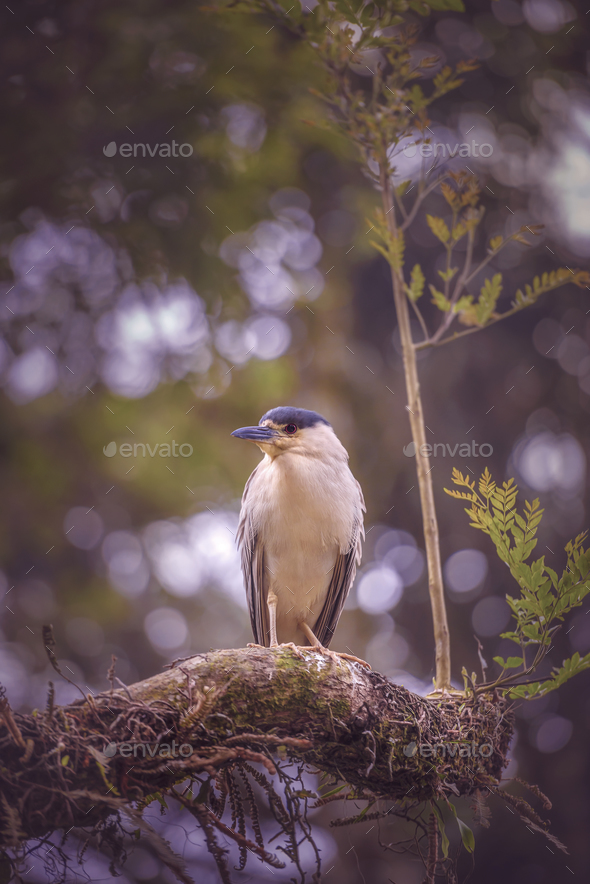 Black-Crowned Night Heron - Stock Photo - Images