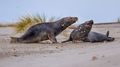 Fighting Grey seal males on beach