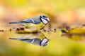 Blue tit autumn background