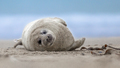 harbor seal pup on side