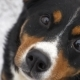 The Dog Looks at the Camera, Is Surprised and Presses His Ears. The Dog Looks Sadly at the Owner - VideoHive Item for Sale