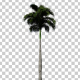 Royal Palm Tree - VideoHive Item for Sale