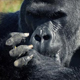 Silverback Gorilla Eating With His Hands - VideoHive Item for Sale