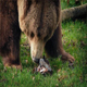 Bear Eating In Grass - VideoHive Item for Sale