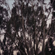 Eucalyptus Trees In Stormy Weather - VideoHive Item for Sale
