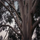 Australian Eucalyptus Tree In Storm - VideoHive Item for Sale