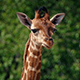 Baby Giraffe Portrait - VideoHive Item for Sale