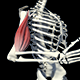3D Bicep Muscles Anatomy - VideoHive Item for Sale