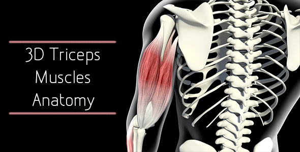3D Triceps Muscle Anatomy by madi7779 | VideoHive