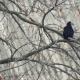 The Raven Sits on the Branch of the Oak Tree and Spreads Its Feathers - VideoHive Item for Sale