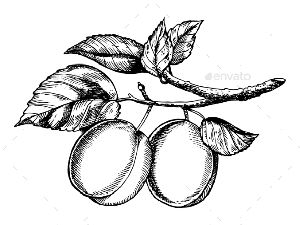 GraphicRiver Sprig of Plum Engraving Vector Illustration 20949438