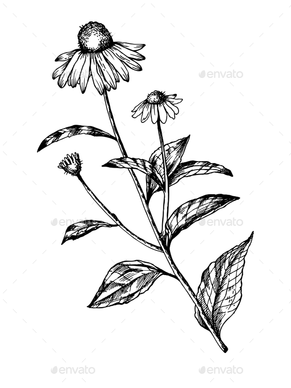 GraphicRiver Echinacea Medical Herb Engraving Vector 20949441