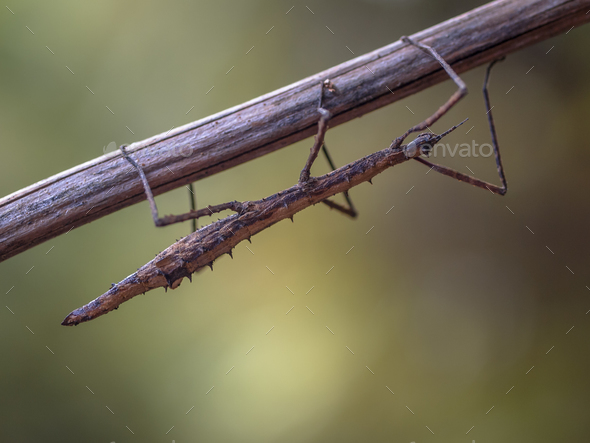 New Zealand stick insect - Stock Photo - Images