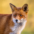 Portrait of Red Fox face