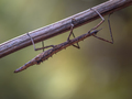 New Zealand stick insect