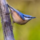 Eurasian nuthatch clinging - PhotoDune Item for Sale