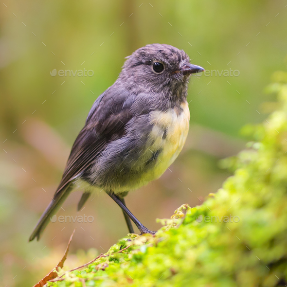 New Zealand Robin on green log in natural forest - Stock Photo - Images