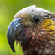 New Zealand native Kaka parrot - PhotoDune Item for Sale