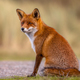 Red fox sitting and waiting - PhotoDune Item for Sale