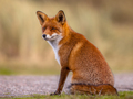 Red fox sitting and waiting