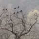 Crows Sit on the Branches of Oak in Autumn - VideoHive Item for Sale