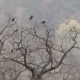 Crows Sit on the Branches of Oak - VideoHive Item for Sale