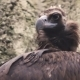 The Black Vulture Sits on a Rock - VideoHive Item for Sale