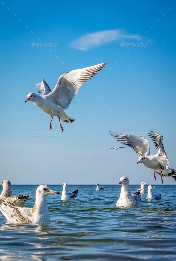 Seagulls fighting for bread pieces - Stock Photo - Images