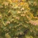A Maple with Yellow Green Foliage - VideoHive Item for Sale