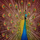 Peacock Moving Around - VideoHive Item for Sale