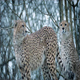 Couple Of Cheetahs In Snowfall - VideoHive Item for Sale