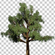Pacific Madrone Tree - VideoHive Item for Sale