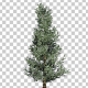 Fraser Fir Tree - VideoHive Item for Sale