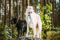 White Russian Borzoi And Small Size Black Hunting Mixed Breed Do