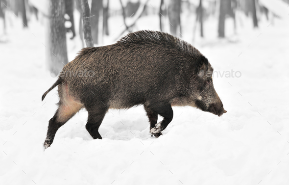 Black and white photography with color wild boar - Stock Photo - Images