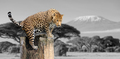 Black and white photography with color leopard