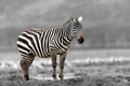 Black and white photography with color zebra