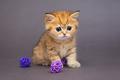 Red British kitten playing with balls