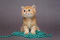 British kitten orange and blue beads