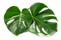 leaves of monstera plant - PhotoDune Item for Sale