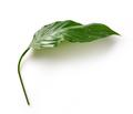 fresh green tropical leaf - PhotoDune Item for Sale