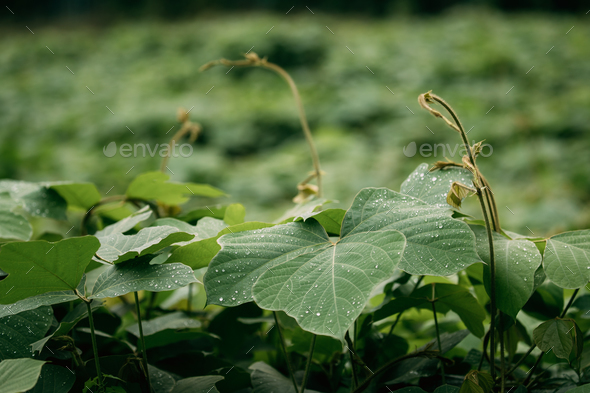 Water On Green Leaves Of Wild Plant Bush At Spring Season. Wet L - Stock Photo - Images