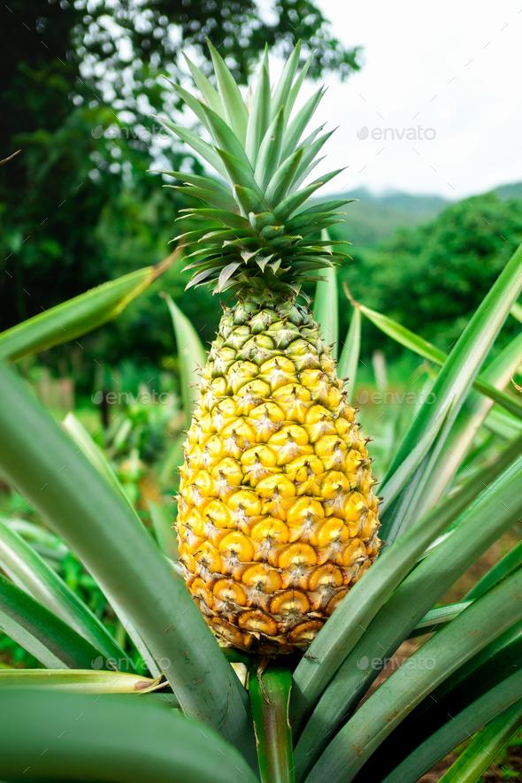 Ripen pineapple waiting for harvest - Stock Photo - Images