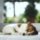 Jack Russel Terrier Puppy Sleeping - VideoHive Item for Sale