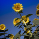 The yellow flower of the sunflower - PhotoDune Item for Sale