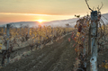 Vineyards on sunrise. Autumn vineyards in the morning. - PhotoDune Item for Sale