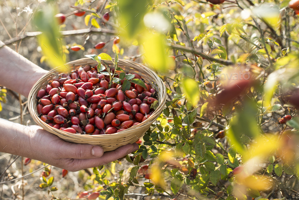 Rosehip in a basket - Stock Photo - Images