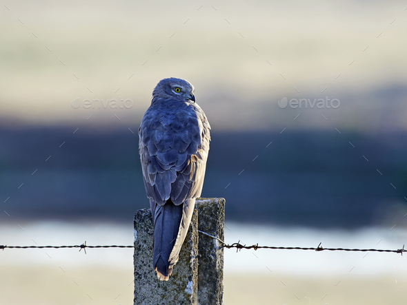 Montagus harrier (Circus pygargus) - Stock Photo - Images