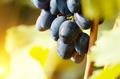 Blue grape cluster against sunlight closeup view